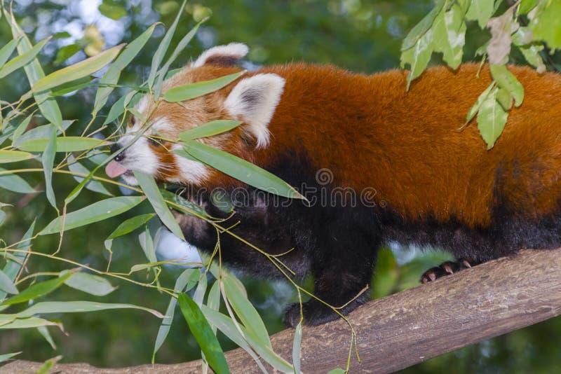Rött eller lesser panda royaltyfri bild