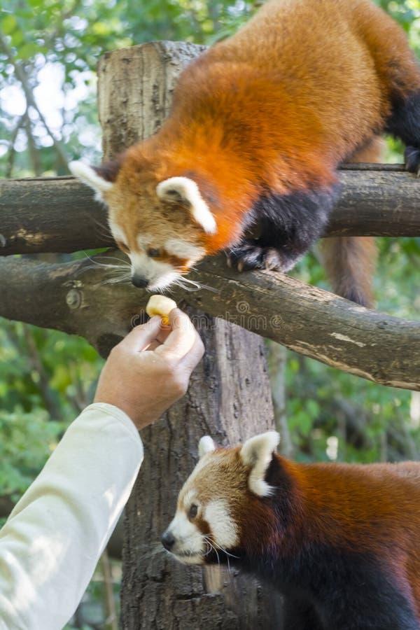Rött eller lesser panda royaltyfria foton