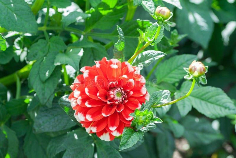Rött för bahama för kvalitet för Asteraceaedahliacultorum rött ljust arkivbild