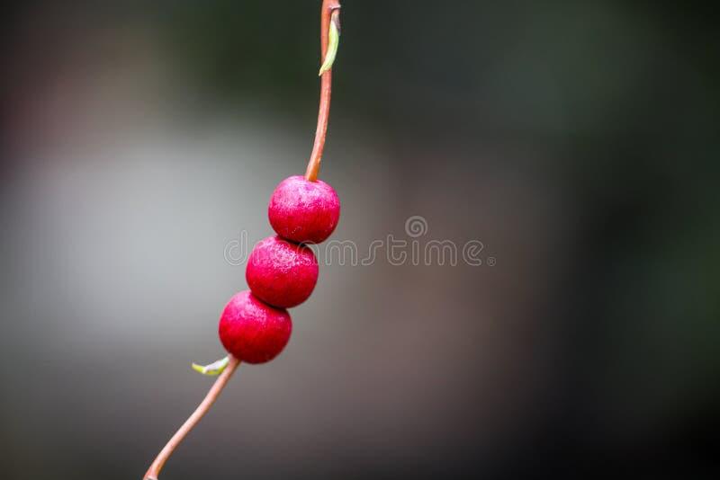 Rött frö i vårtid arkivbild