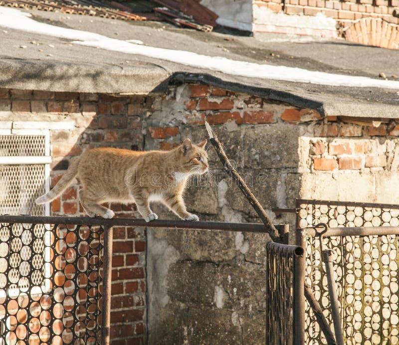 Rött gå för katt/som balanserar på ett staket; Polen royaltyfria bilder