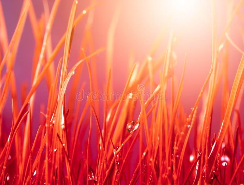 Rött gräs för höst med vattendroppar royaltyfria foton