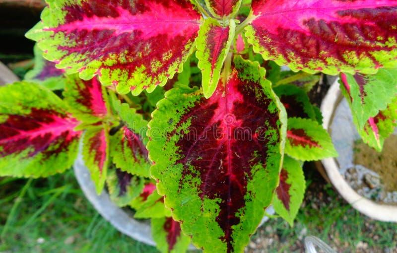 Rött & grönt blad i trädgård royaltyfri bild