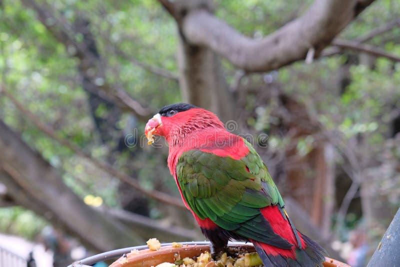 Rött, grönt och svart parakiterslut upp att äta royaltyfri fotografi