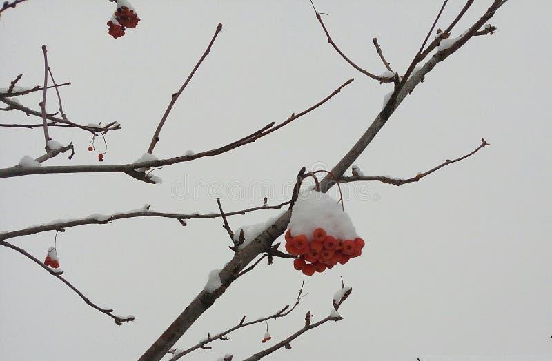 Rött grupper, rönn som är dold, vinter, rimfrost, bakgrund som är ljus, snö, vitt som är ashberry, träd, closeup, jul, säsong, fö fotografering för bildbyråer