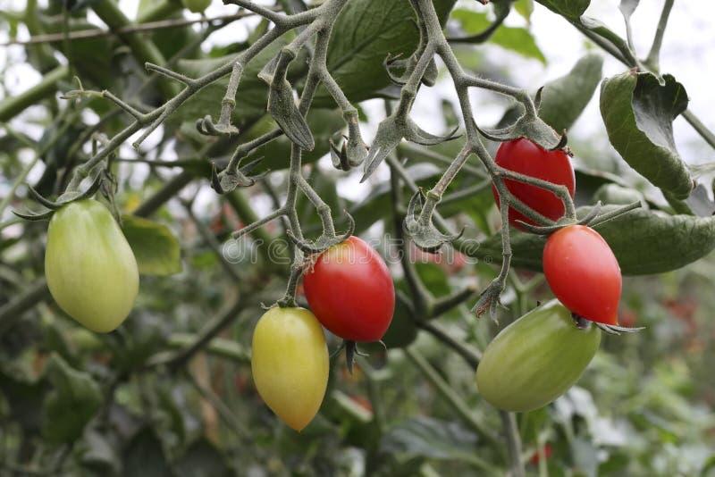 Rött gult, ljus - grön tomat arkivbilder