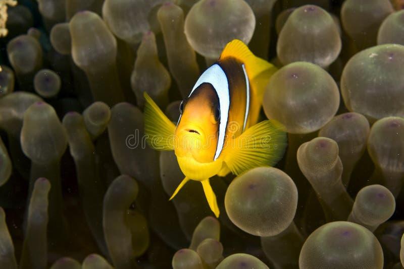 rött hav för amphipironanemonefishbicinctus arkivfoton
