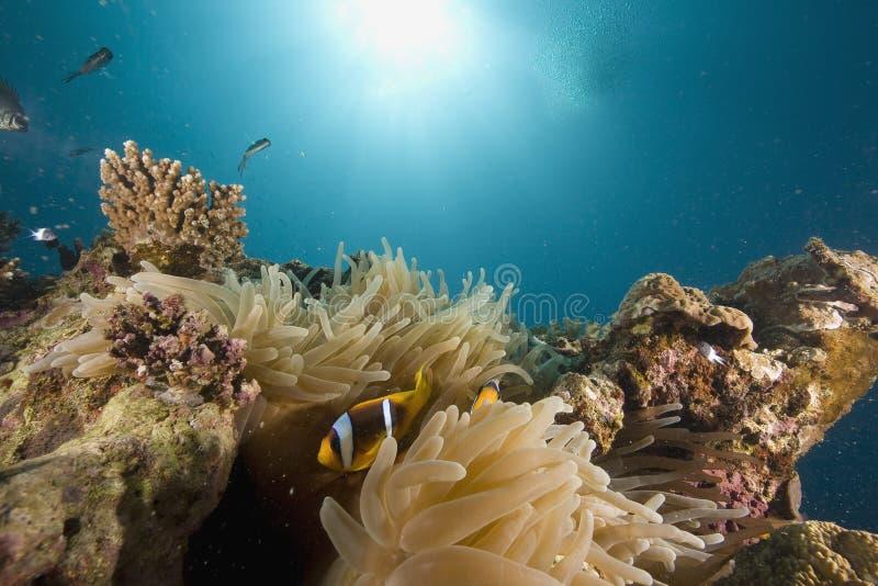 rött hav för amphipironanemonefishbicinctus