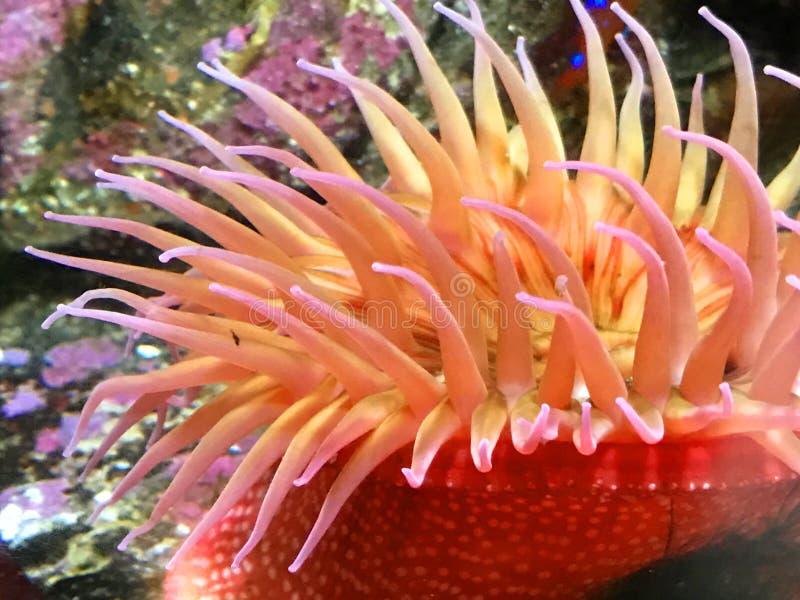 rött hav för anemon arkivbild
