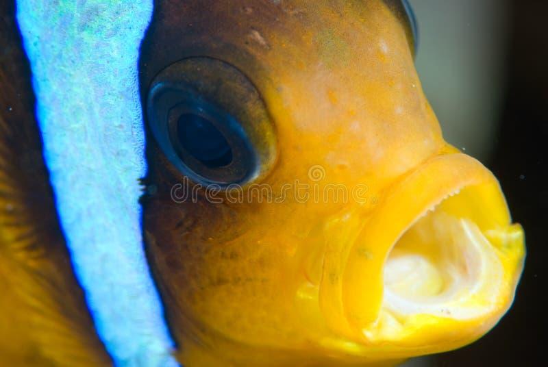 rött hav för anemonfisk royaltyfria foton