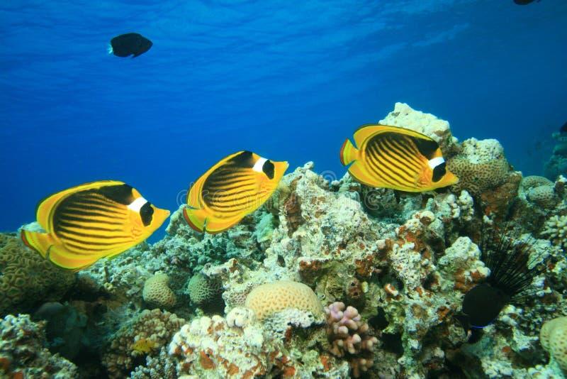 rött hav för butterflyfishraccoon royaltyfri foto