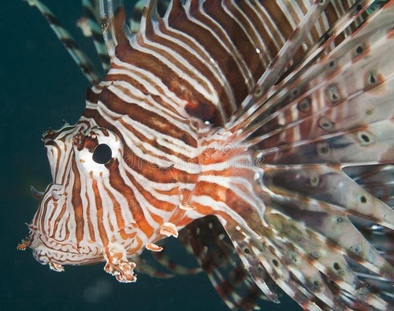 rött hav för closeupdetaljlionfish fotografering för bildbyråer