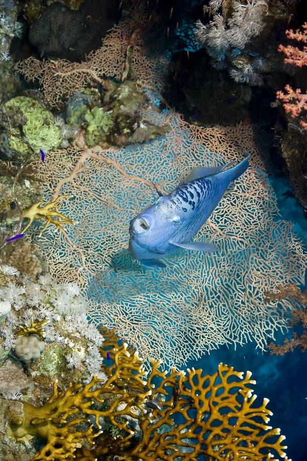 rött hav för havsängelmaculosuspomacanthus royaltyfri foto