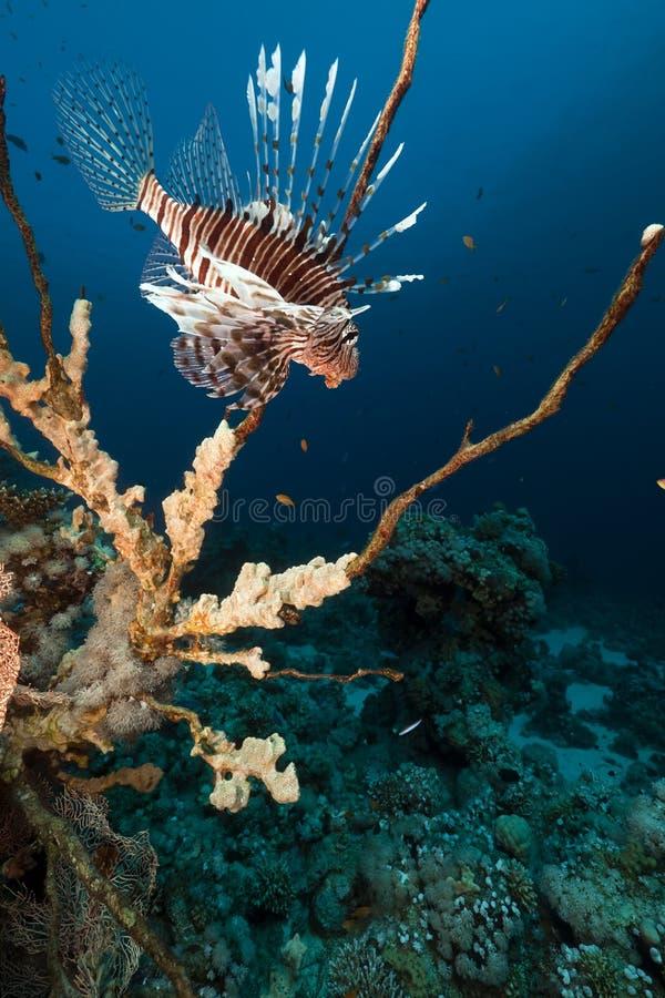 rött hav för lionfish fotografering för bildbyråer