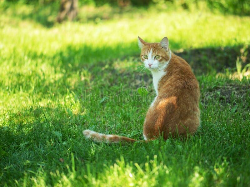 Rött kattsammanträde på gräset som ser kameran royaltyfri bild