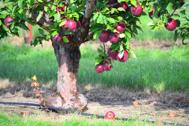 Rött - läckra Apple träd royaltyfri fotografi