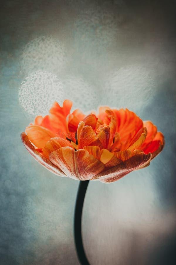 Rött med den orange tulpan på bakgrunden av fönsternärbilden Blått med vit suddig bakgrund med bokeh Dagsljus arkivbild