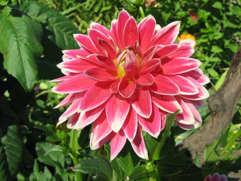 Rött med vita gränsdahlior i sommarträdgård arkivfoto