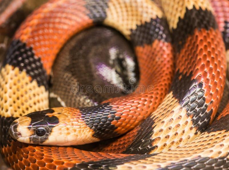 Rött mjölka ormen arkivfoton