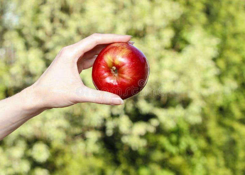 Rött moget enkelt äpple i härlig hand royaltyfri foto