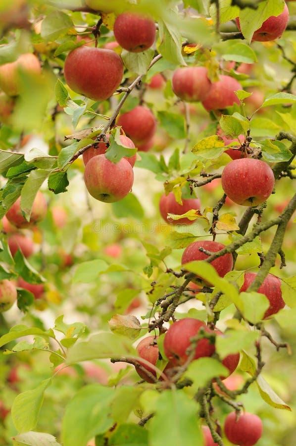 rött moget för äpplen arkivfoto