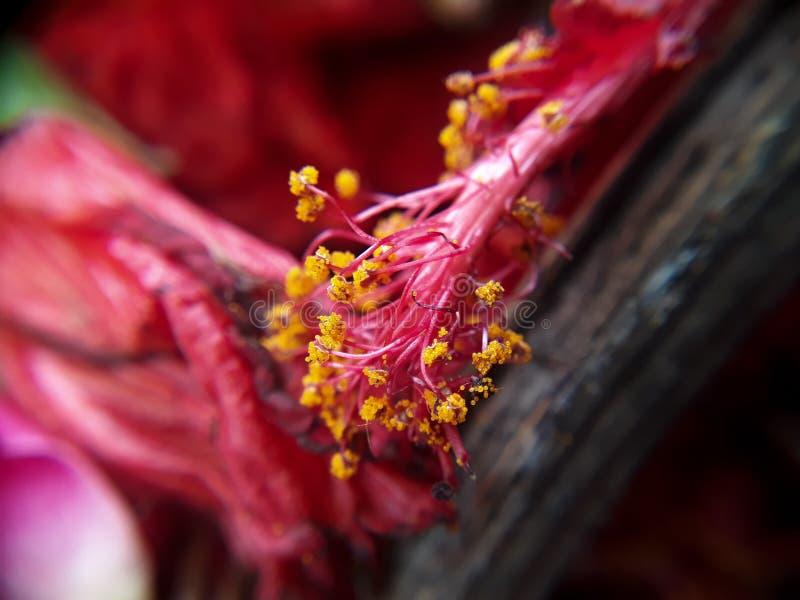 Rött naturligt blommafrö royaltyfri bild