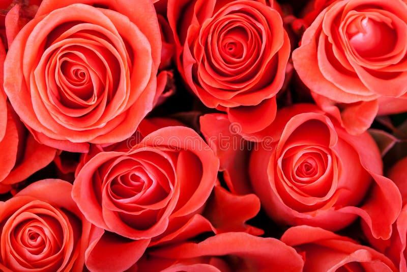 Rött naturligt rosbakgrundsslut upp royaltyfria foton