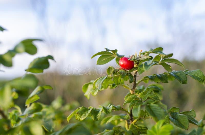Rött nypon på busken royaltyfria bilder