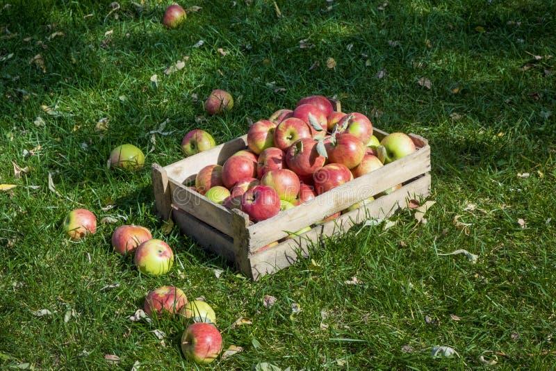 Rött och gräsplan valde nytt äpplen i en träask på grönt gräs arkivfoton
