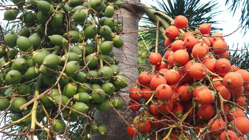 Rött och grönt av grupp av betelen - muttrar på träd Grupp av den gröna och röda mogna tropiska betelen - muttern eller arecaen g arkivbild