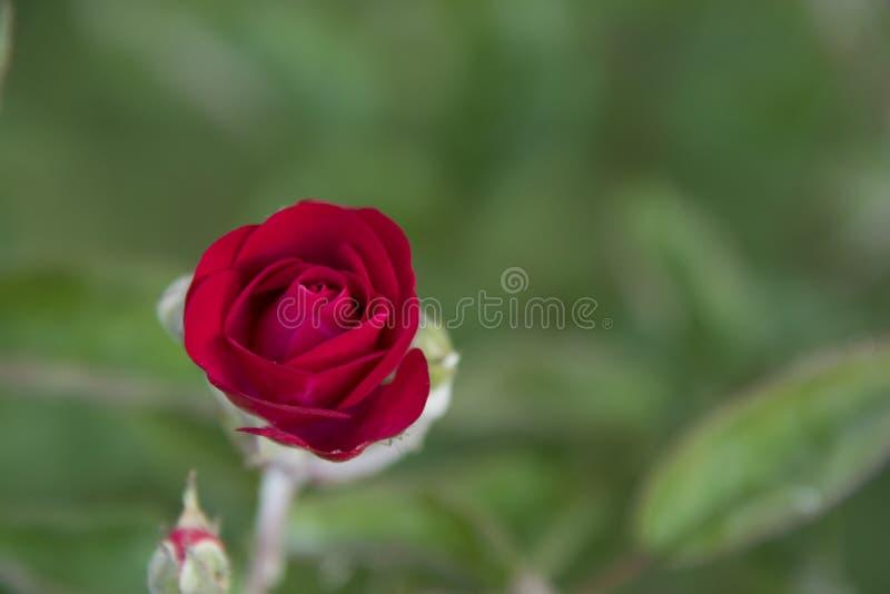 Rött och löst royaltyfri foto