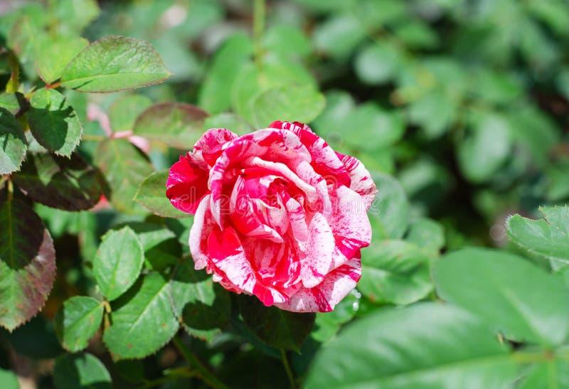 Rött och vit av hybrid- te för dubbel fröjd steg royaltyfri bild