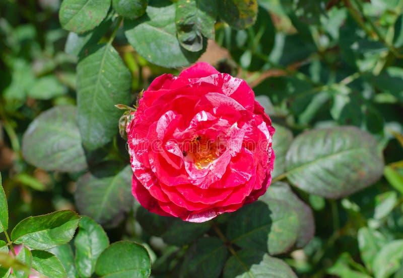 Rött och vit av hybrid- te för dubbel fröjd steg fotografering för bildbyråer