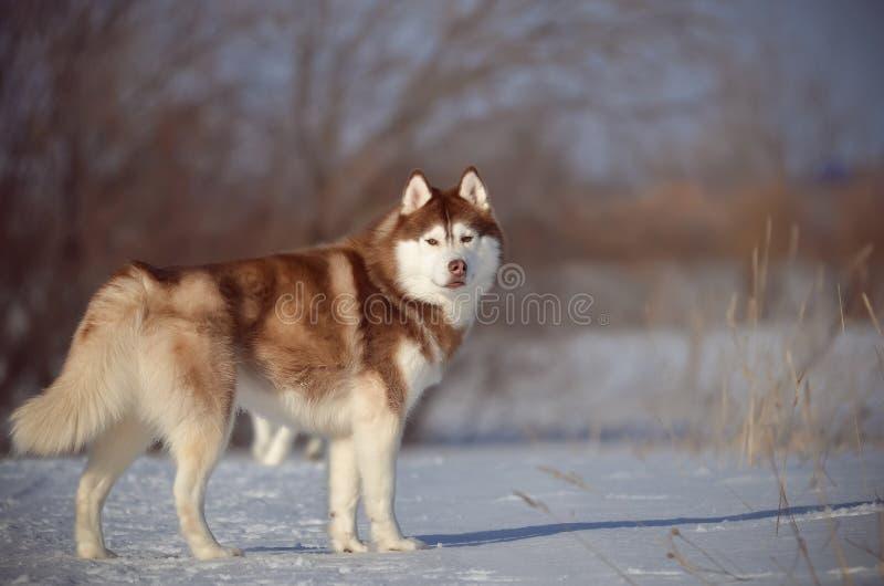 Rött och vitt i naturlig storlek för Siberian skrovlig hund i snöängfältet royaltyfria foton