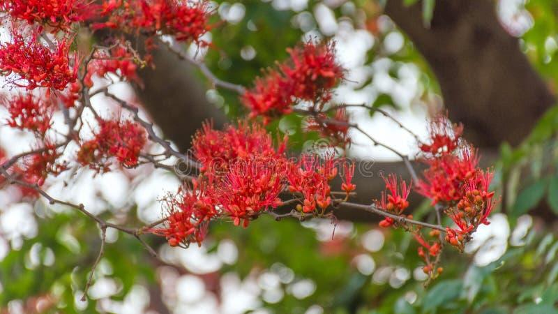 Rött pakistanska apablommaträd eller brand royaltyfri fotografi