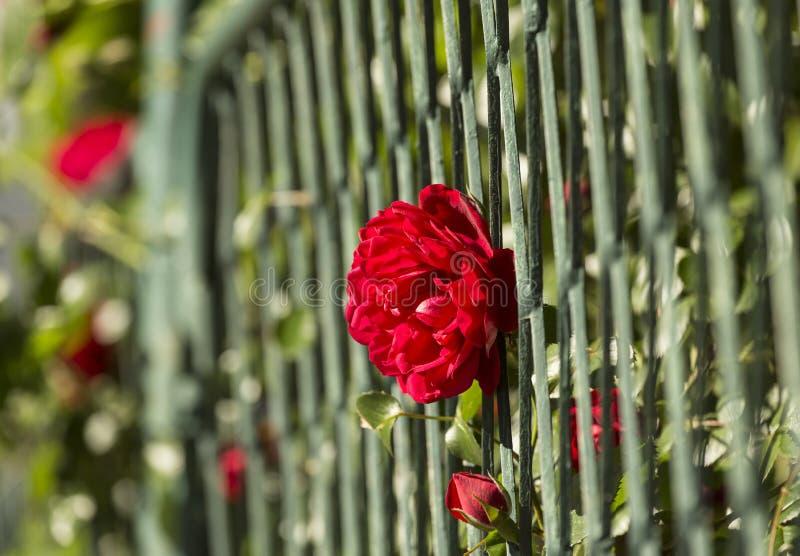 Rött ros- och järnstaket royaltyfri fotografi