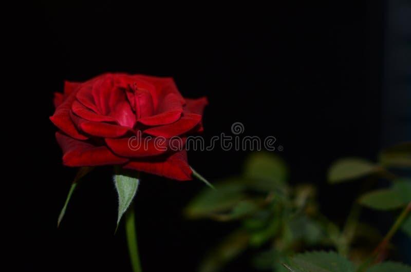 Rött rosa symbol av riktig förälskelse arkivfoton