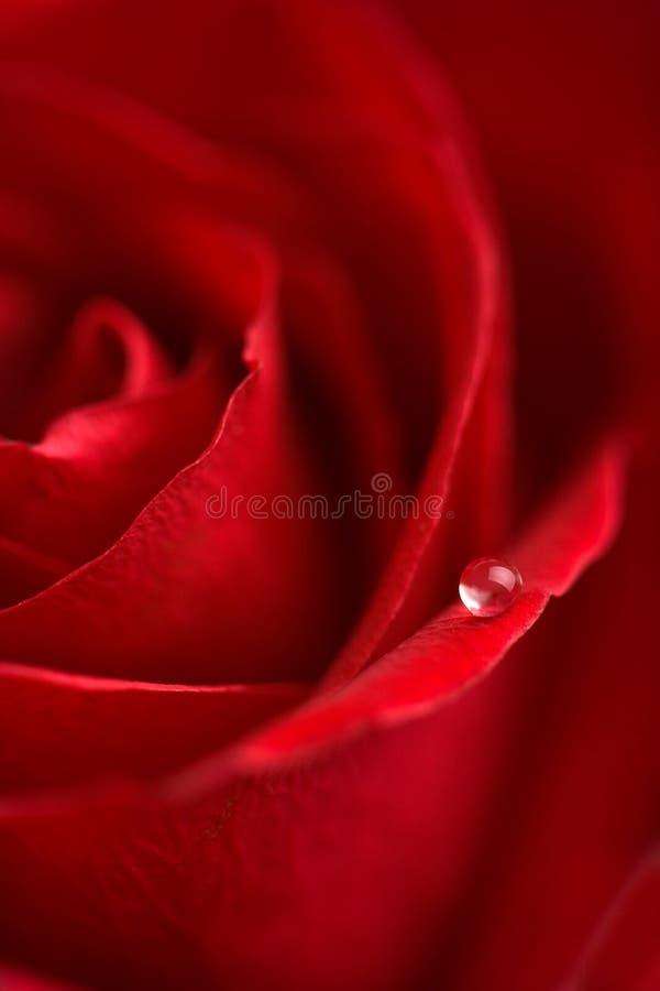 rött rose vatten för droppmakro arkivbilder