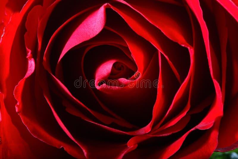 rött rose vatten för mörka liten droppe arkivfoto