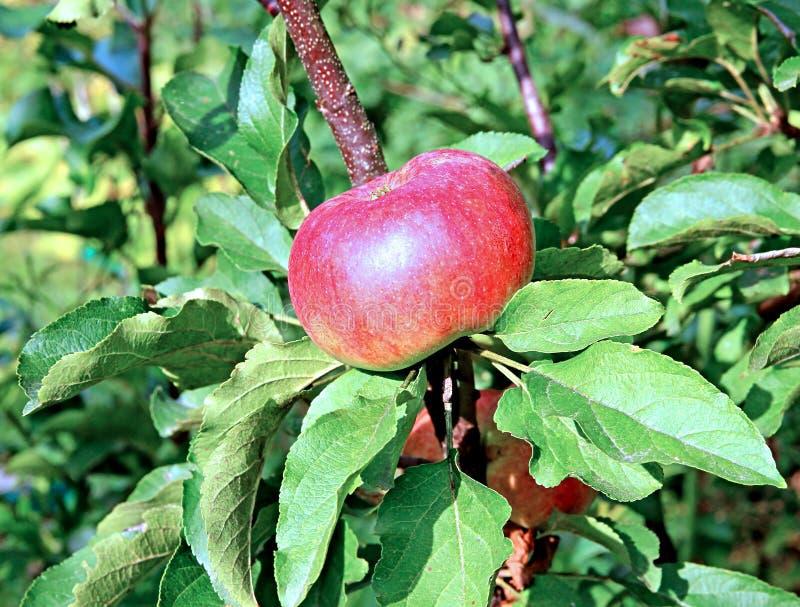 Rött saftigt äpple på träd för ett äpple för filial columnar royaltyfri foto
