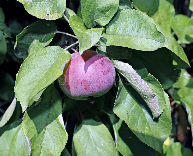 Rött saftigt äpple på träd för ett äpple för filial columnar arkivbild