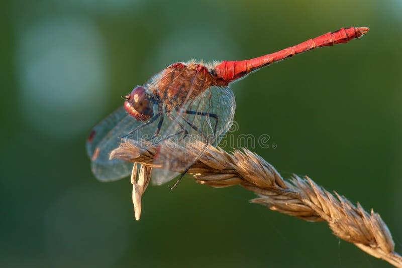 Rött sländasammanträde på torrt gräs Ögonskinn under vingarna fotografering för bildbyråer