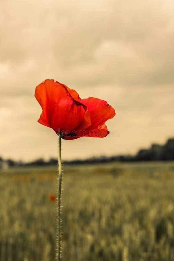 Rött slut för lös blomma upp mot dimmig morgonrodnadgryninghimmel royaltyfri fotografi