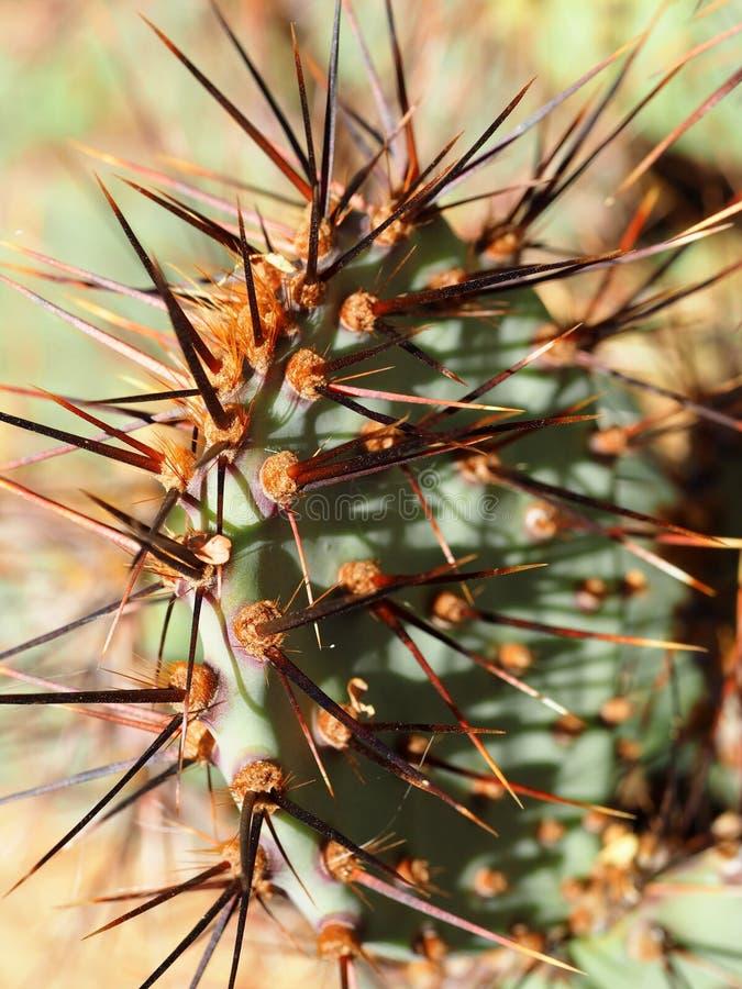 Rött Spined kaktusblad royaltyfri foto