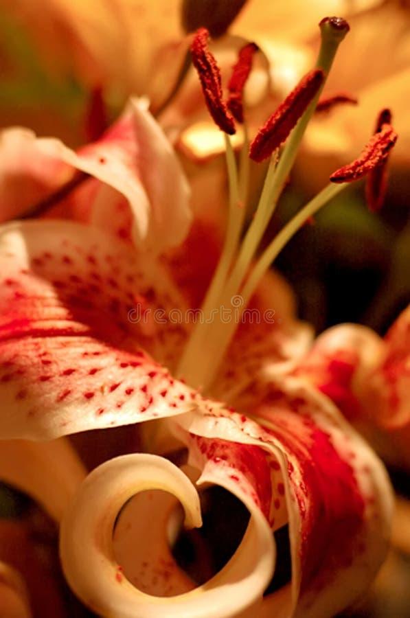rött spräckligt för lilja arkivfoton