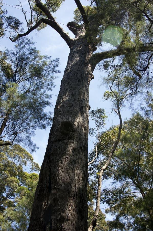 Rött sticka, dalen av jättarna, WA, Australien royaltyfri fotografi