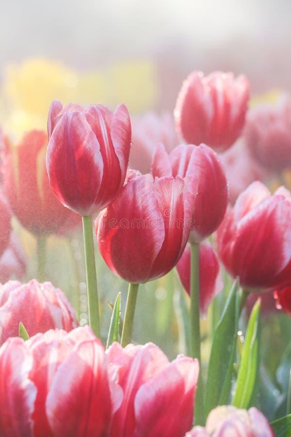 Rött tulpanfält i morgonmist (den mjuka fokusen) fotografering för bildbyråer