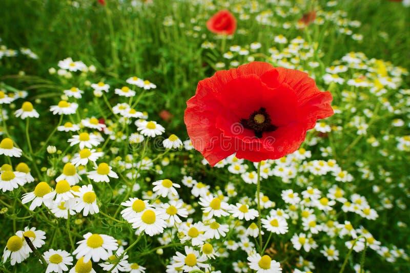 Rött växa för blommor för papaver och för kamomill för havrevallmo på färgrik äng i bygd Vårfält i blomning royaltyfria foton
