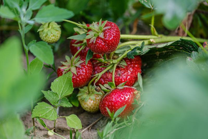 rött växa för lösa jordgubbar på jordningen arkivbilder