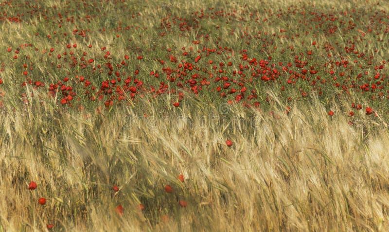 Rött vallmofält med gula wheats, utomhus- som är panorama- royaltyfri bild